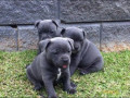 gorgeous-blue-staffordshire-bull-terrier-puppies-arrived-small-0