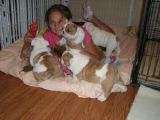 english-bulldog-puppies-for-adoption-big-0