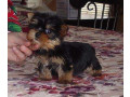 yorkie-terrier-puppies-for-adoption-small-0