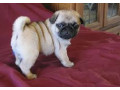 pug-puppies-for-free-adoption-small-0