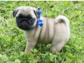 pug-puppies-for-free-adoption-small-1