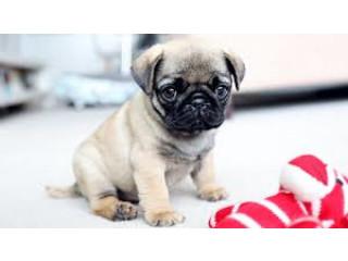 Pug puppies for free adoption