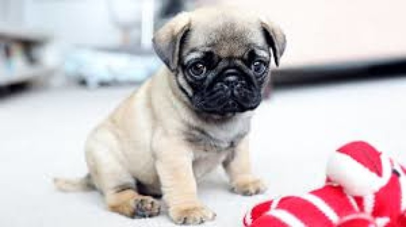 pug-puppies-for-free-adoption-big-2