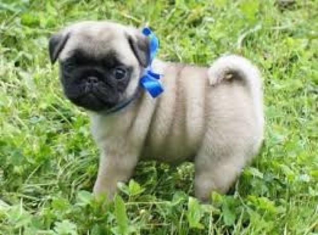 pug-puppies-for-free-adoption-big-1