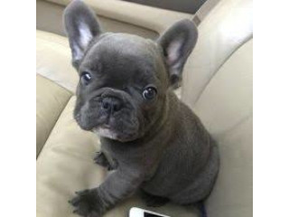 French Bulldog puppies ready for adoption