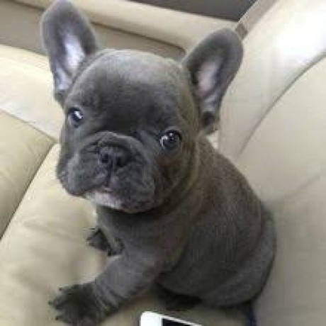 french-bulldog-puppies-ready-for-adoption-big-3
