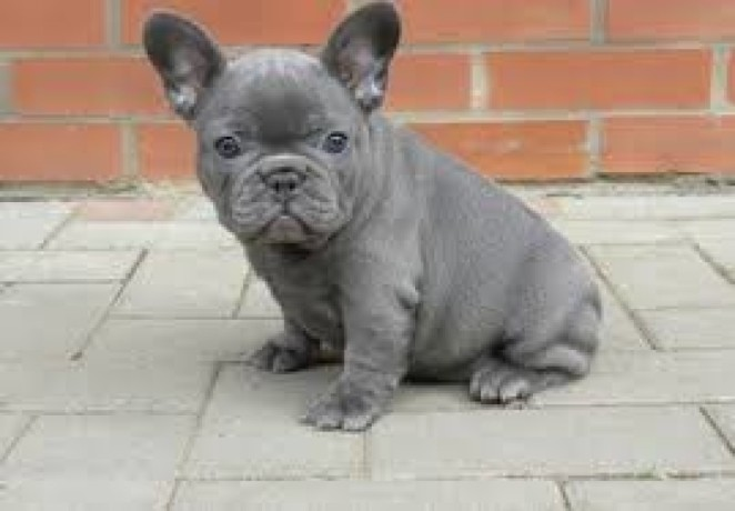 french-bulldog-puppies-ready-for-adoption-big-2