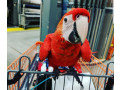 scarlet-macaw-small-2