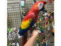 scarlet-macaw-small-0
