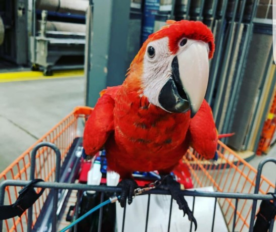 scarlet-macaw-big-2