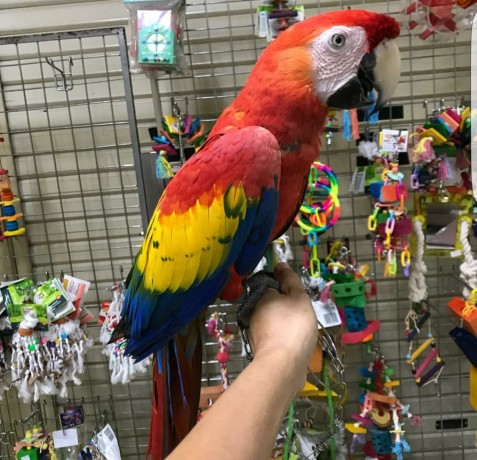 scarlet-macaw-big-0